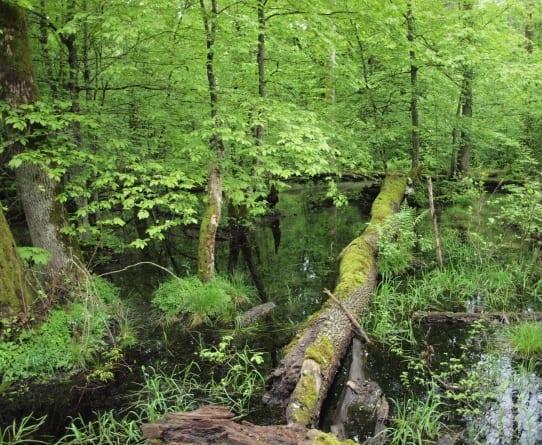 Minister Szyszko: Puszcza Białowieska nie będzie wpisana na listę zagrożonego dziedzictwa