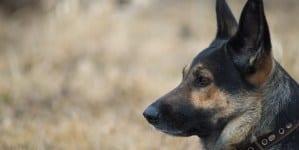 Mężczyzna przypadkiem postrzelił sąsiada z kuszy ratując go przed pitbullami