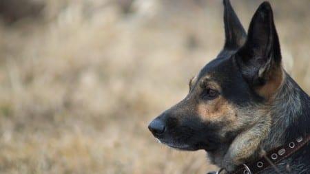 Pies Straży Granicznej wytropił nielegalnych imigrantów