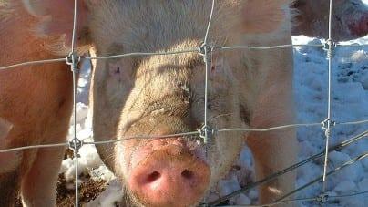 Ukraina wprowadza embargo do polską wieprzowinę