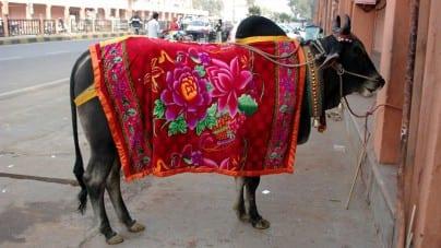 Tłum Hindusów zlinczował dwóch muzułmanów podejrzanych o zabicie świętej krowy