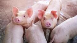 Polska przywraca import wieprzowiny z Litwy