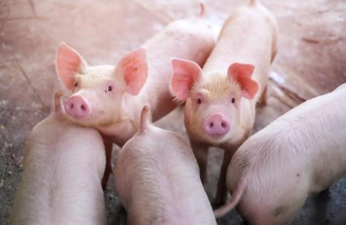 Dolnośląskie: 71-latek zjedzony przez świnie, które sam hodował