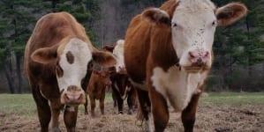 Chore mięso trafiło na rynek – odwołano Zastępce Głównego Lekarza Weterynarii