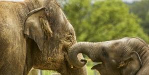 Namibia sprzedaje słonie. 170 zwierząt oczekuje na kupców