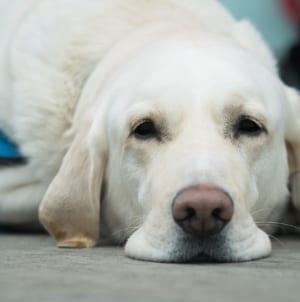 """Niewidomy z psem przewodnikiem zaatakowany petardami. """"Zwierzę nie odważy się wyjść z domu"""""""
