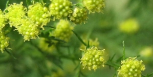 Chińczycy przebadali zioła, które zwalczają SARS. Jedno z najlepszych jest dostępne w Polsce